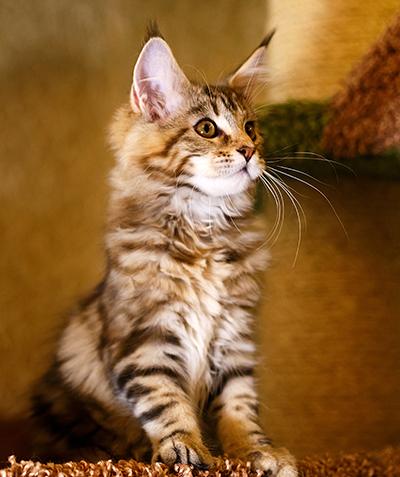 Котенок ALISA FROM SOVA