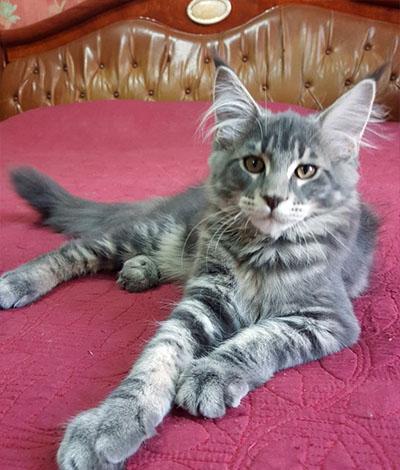 Котенок Bonifazio