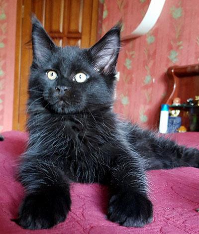 Котенок Boris