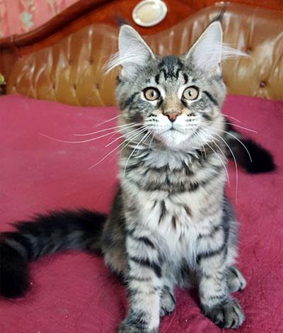 Котенок Bagira