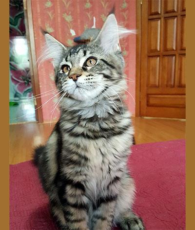 Котенок Belana