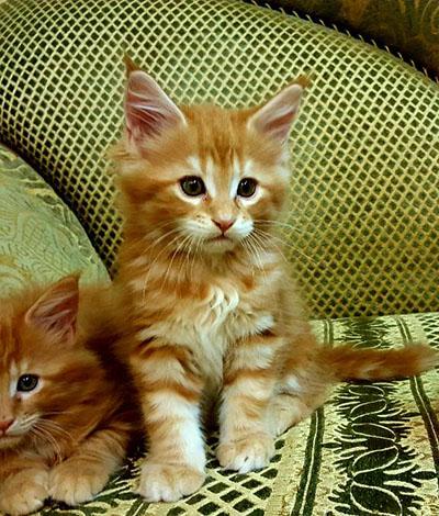 Котенок Suleyman